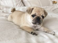Gorgeous pug puppies to a new home Text..(204) 500-9310