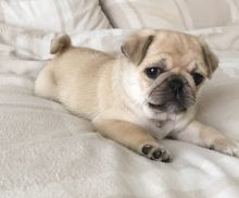 Two Beautiful Pug Puppies Available