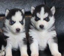 Adorable husky puppies for sale