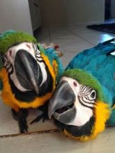Beautiful Blue and Gold Macaws