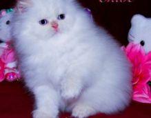 Persian kittens Ready