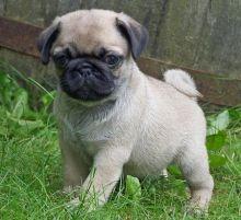 Stunning Pug puppies Ready!! M/F