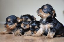 Lovely Male and Female Yorkshire Terrier Puppies for adoption