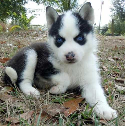 AKC Blue Eyed Siberian Husky - 2 Months Image eClassifieds4u