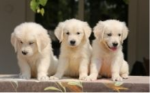 Golden Retriever Puppies ForAdoption/Available.