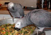 African Grey Parrot. Image eClassifieds4U
