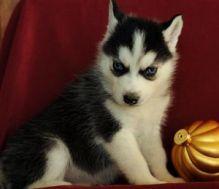 Malamute x Siberian Husky