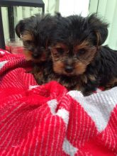 Yorkshire Terrier Puppy's For Sale Image eClassifieds4U