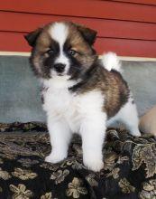 Stunning amazing Pomsky Puppies (972) 734 5559