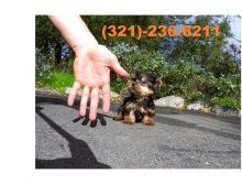 Female Yorkie Puppy.call or text (321)-236-6211