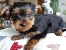 Yorkshire Terrier Puppy .call or text (321)-236-6211