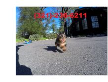 Female Yorkie Puppy.call or text (321)-236-6211 Image eClassifieds4u 2