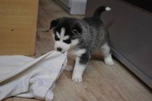 Sweet husky need a new home