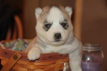 Siberian Husky Purebred Puppies