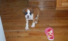 Excellent K.c Reg Boxer Puppies now ready for sale (469)x643x3077. Image eClassifieds4U