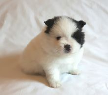 Tiny Teddy Bear Pomeranian Puppies for sale. Image eClassifieds4U