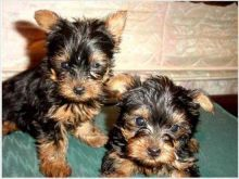 Adorable Baby Yorkie Puppies