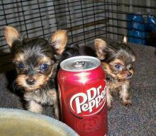 Kelowna Yorkie Dogs Puppies For Sale Classifieds At Eclassifieds