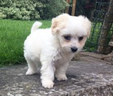 Beautiful,stunning Maltese Pups For Sale Male and a Female.