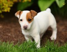 Adorable Little Jack Russell Puppies