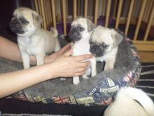 Beautiful Chunky Show Quality Pug Pups For Sale(952) 333-1149