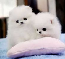 cute pomarenian puppies for rehoming