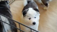 well traided siberian husky puppies for rehoming