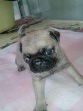 Adorable Pugs Image eClassifieds4u 1