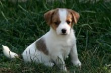 Wonderful Jack Russell Puppies available