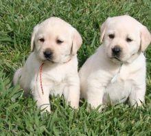 Two Labrador Retriever Puppies for free Adoption Text 502-414-3546