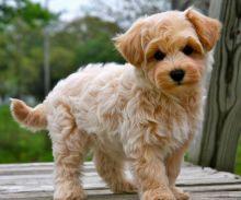 inspiring Maltipoo puppies