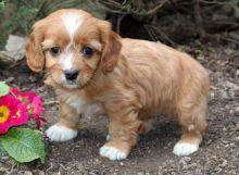 joyful Cavapoo puppies