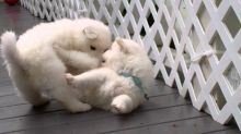 kindly Samoyed puppies