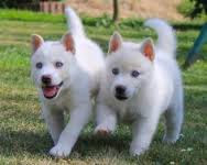 Sweet Siberian Husky Image eClassifieds4U