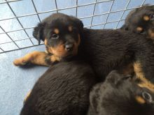 Beautiful Male and Female Rottweiler Puppies