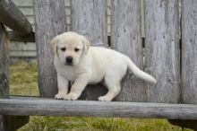 bow wow Lovable Golden Retriever Puppies to go