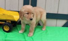 Energetic Fun Golden Retriever Puppies available for re homing
