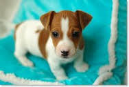 Cute Raised Jack Russell Puppies for adoption contact::::(annamelvis225@gmail.com)