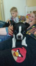 Extremely cute male and female Boston Terrier puppies now available.
