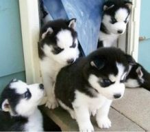 URGENTLY * Siberian Huskies now* contact (724) 997-1284