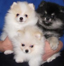 4 Pom puppies. They are great dogs,Txt only via (302) x 514 x 8078