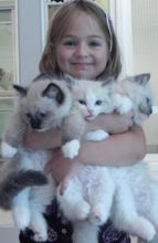 Hand-Raised Ragdoll Kittens male and female These kittens are the answer to those usually sufferin