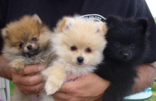 wonderful litter of 5 pomeranian puppies for sale ,Txt only via (302) x 514 x 8078