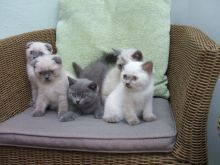 n/a Scottish fold blue and white kittens - available for sale ,Txt only via (901) x 213 x 8747