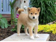 affectionate, & gentle Shiba Inu Puppies.