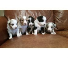 Australian Shepherd Black Tri male & Female Pups. Txt only via (786) x 322 x 6546