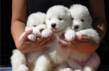 Charming Samoyed Pups Text Us At (725) 465-1723