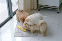 Gorgeous Cream and black Chow Chow Puppies for sale Txt only via (530) x 522 x 8115