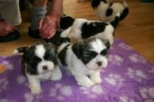 Outgoing, healthy male and female fawn brindle & white SHIH TZU puppies available,Txt only via