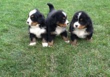 Reasonable Bernese Mountain Dog Puppies ready now For a good hoe- ,Txt only via (786) xx 322 xx 6546
